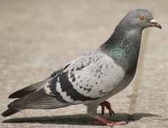 Новости  - В Сети опубликовано видео, как на казанском хлебозаводе голубей засасывает элеватор