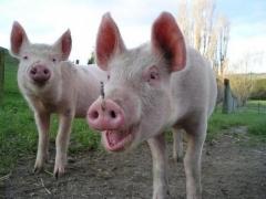 Новости  - Из-за африканской чумы татарстанцам запретят разводить свиней