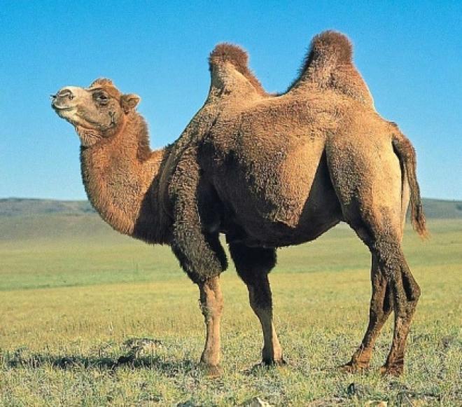 Через год в Татарстане будет жить 1000 верблюдов