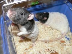 Новости  - В мае казанцы выберут самую красивую крысу