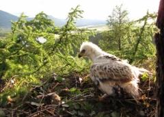 Новости  - В Татарстане закольцевали солнечных орлов