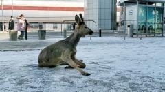 Новости Общество - У терминала аэропорта нашли годовалую косулю