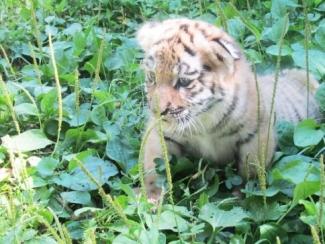 В Казанском зооботсаде родился амурский тигрёнок