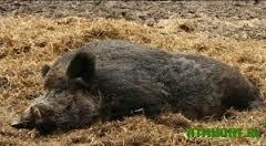Новости  - Трупы двух диких кабанов найдены на трассе Чистополь-Альметьевск
