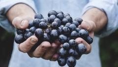 Новости Общество - Казанцев приглашают посетить выставку винограда