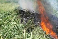 Новости  - Наркополицейские изъяли 34 кг марихуаны за один день