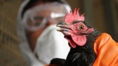 Новости  - В нескольких районах Татарстана снят карантин по птичьему гриппу