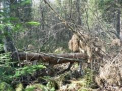 Новости  - Жительницу Татарстана нашли мёртвой в сибирской тайге