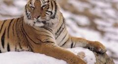 Новости  - Казань: на амурских тигров можно посмотреть бесплатно