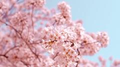 В столице Татарстана высадили 25 деревьев японской сакуры