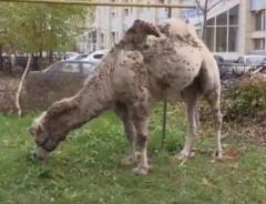 Новости  - Полиция разыскала хозяев верблюда, который разгуливал по улицам Казани