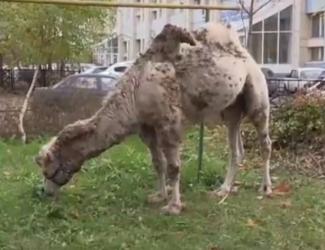 Полиция разыскала хозяев верблюда, который разгуливал по улицам Казани