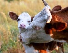 Новости  - В Татарстане живых коров вывалили на землю из самосвала