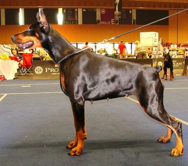 В Казани состоится всероссийская выставка собак «Белый барс»