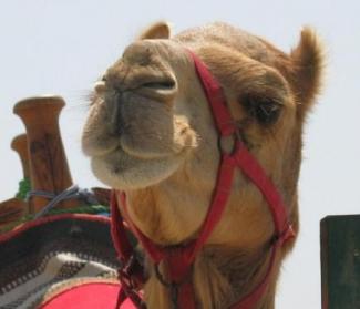 В Казани на Курбан-байрам теперь можно будет зарезать верблюда