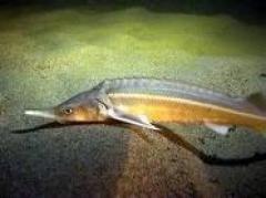 Новости  - В Татарстане начнут выращивать деликатесную рыбу